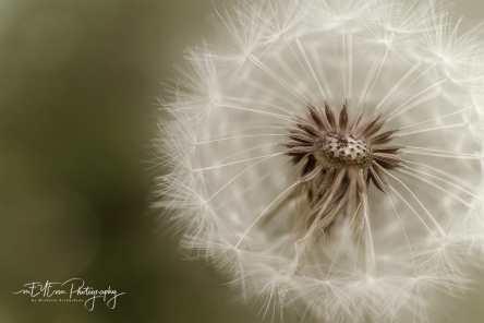 Dandelion (9 of 43)-1-2